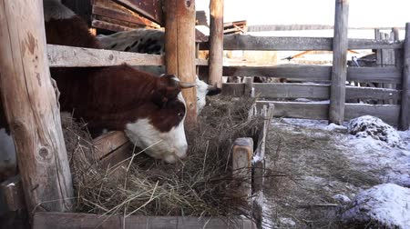 ranč : Cow eating hay in the stall. Farm. Countryside Dostupné videozáznamy