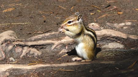katicabogár : Chipmunk in the forest