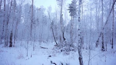 alpes : Winter forest. Siberian taiga