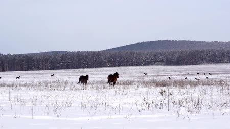 Флеволанд : Horses on a snowy field