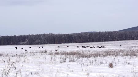 пони : Horses on a snowy field
