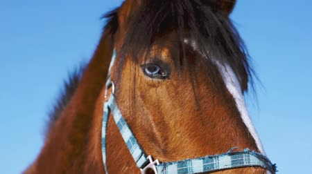 midilli : Blue-eyed horse. Brown horse close up Stok Video