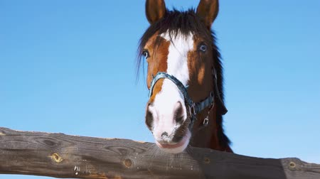 detay : Blue-eyed horse. Brown horse close up Stok Video