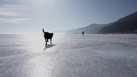 executar : Dog runs across the ice of the Lake. Baikal