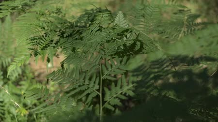 kapradina : fern in the morning forest