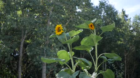 jardim : Sunflowers grow in the garden. Vídeos