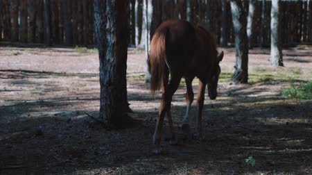 harness : Young foal walking in the woods Stock Footage