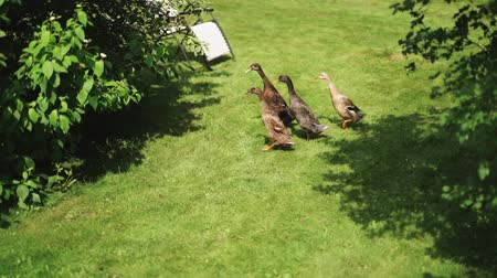 yem : A group of geese running on the grass. Stok Video
