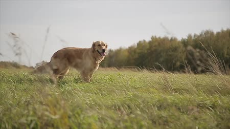 fetch : cute dog plays on the lawn Stock Footage