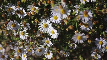 chryzantema : A large Bush of beautiful blooming chamomile