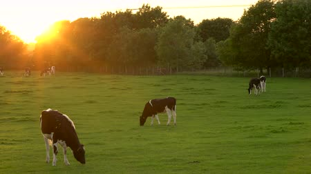 friesian : 4K video clip showing herd of Friesian cows grazing, eating grass in a field on a farm at sunset or sunrise Stock Footage