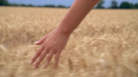 HD 1080 slow motion video clip of teenager or young adult woman female girls hand feeling the top of a field of barley or wheat crop