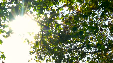 Sunlight glinting, sun shining through the leaves of a horse chestnut tree in Fall or Autumn