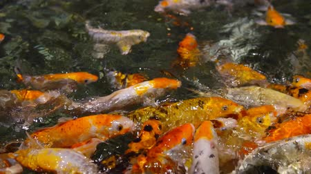 spawn : a large flock of trout fish feeds in water