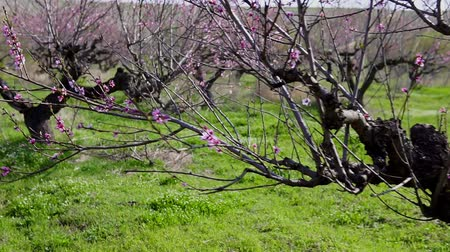 damascos : flowering peach tree branches in the spring Stock Footage