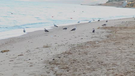 gaivota : gulls in the morning on the beach of the sea coast