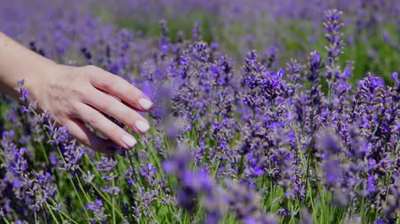 therapeutic : womens hands touch purple lavender in the field