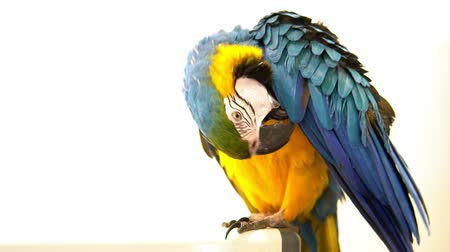 arara : multicolored macaw parrot on a white background