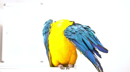 ara : multicolored macaw parrot on a white background