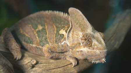 chamaeleo : Close-up view of chameleon sitting on the branch.