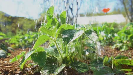 клубника : Strawberry watering on a hot sunny day.