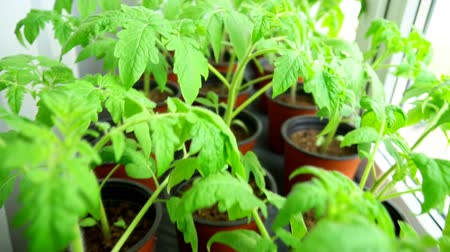 sementes : Seedlings of tomatoes at home on the windowsill.