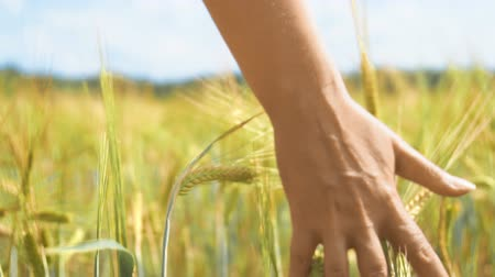 fazla : Female hand touching rye in a farm field.