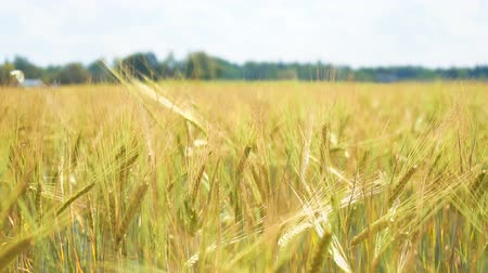 fazla : The field of rye growing in a farm field.