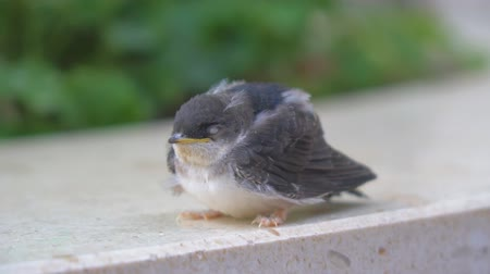 young sparrow : Funny little sparrow chick. Close-up view. Stock Footage