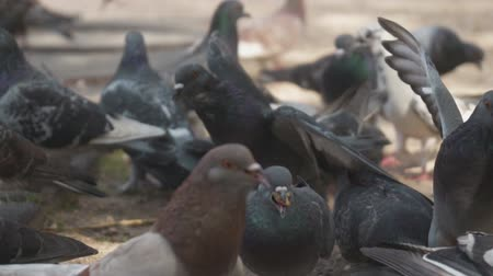 生存 : Lot of mad pigeons in city park.