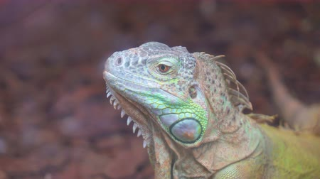 anfíbio : Portrait view of Common green iguana.