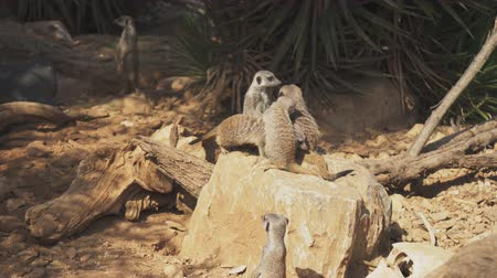 vigilant : Mob of meerkats sitting in the national park.