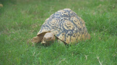 endangered species : Radiated tortoise Stock Footage