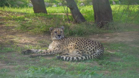 cheeta : Gepard rustend in het nationale park. Acinonyx jubatus. Stockvideo