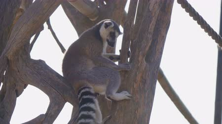 madagaskar : Ring-tailed lemur in the national park.