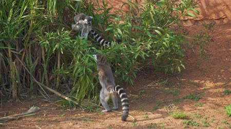 madagaskar : Ring-tailed lemurs playing in the national park. Dostupné videozáznamy
