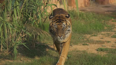 kaplan : Tiger walking straight in national park. Stok Video