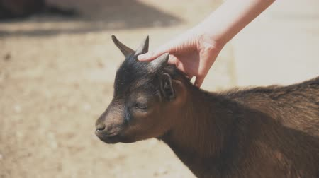 cabra : Childs hand stroking little goat in the zoo.
