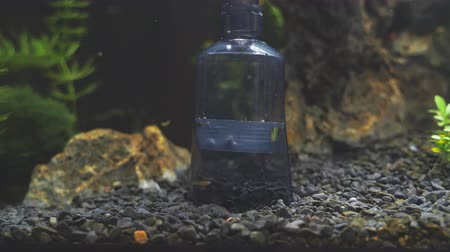 emme : Siphon gravel cleaner tool in the aquarium.