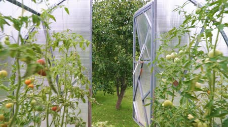 koşullar : Glass greenhouse with tomatoes. Camera moves along.