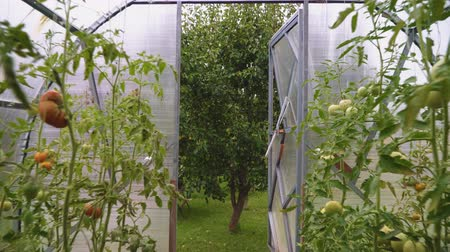 назад : Glass greenhouse with tomatoes. Camera moves backward.