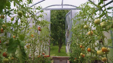 nezralý : Glass greenhouse with tomatoes. Camera moves along.