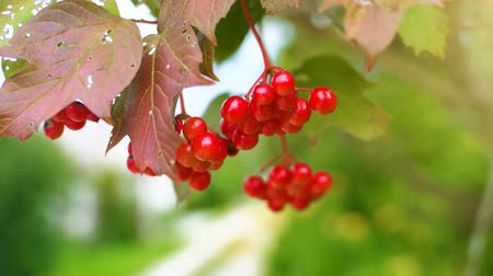 sorbus : Sorbus on the tree in summer day. Sorbus aucuparia. Stock Footage