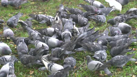 nuisance : Lot of mad pigeons in city park.