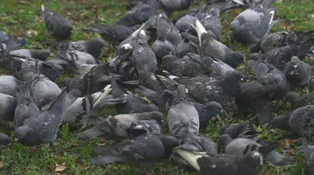 fastidio : Lot of mad pigeons in city park.