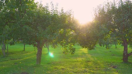 outlook : Apple orchard at sunset in autumn. Stock Footage