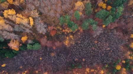 lombhullató : Aerial view: Flying over an autumn forest with pines, orange birches and green firs. Nature, travel, recreation.Russia-Europe.Top view of the dead forest.