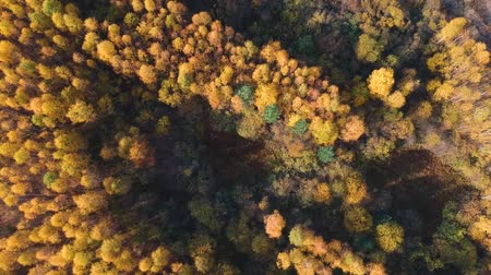 tűlevelű : Aerial view: Flying over an autumn forest with pines, orange birches and green firs. Nature, travel, recreation.Russia-Europe.Top view of the forest. Stock mozgókép
