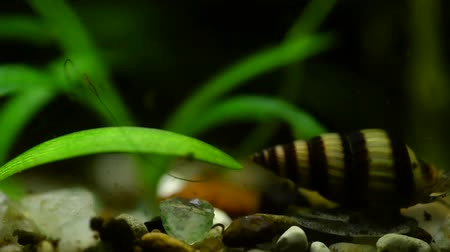 scallop : Macro video Helena snail in aquarium crawling on rocks and shells Stock Footage