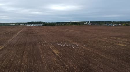 crane fly : A large flock of cranes in the field near the village on an autumn day from the height of the quadcopter fly